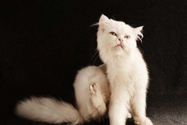 Flöhe bei Katzen – die Symptome und Begleiterscheinungen